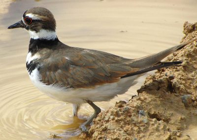 Brown-bird-wading