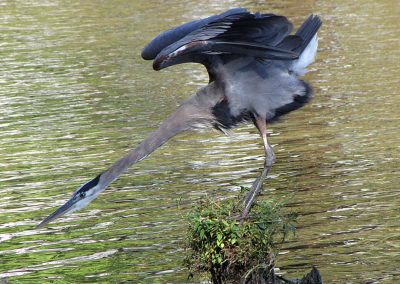 Gray-Heron-stretching