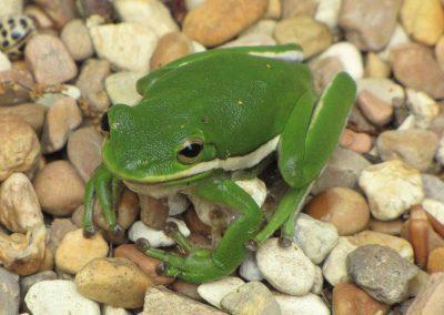 Green-frog