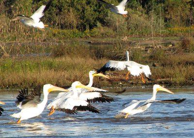 Pelicans-landing