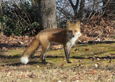 Red-Fox-full-body
