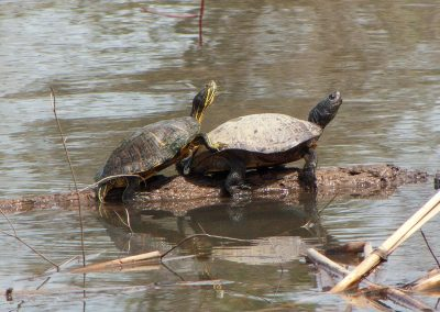 Turtles-on-log-in-water